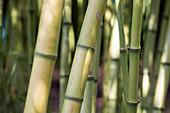 Bamboo (Phyllostachys atrovaginata)