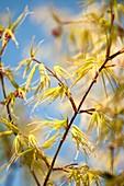 Japanese maple (Acer palmatum 'Blue Sky') foliage