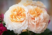 Rose (Rosa 'Floral Fairy Tale') flowers