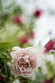 Noisette rose (Rosa 'Madame Alfred Carriere) in flower