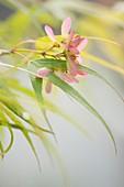 Japanese maple (Acer palmatum) in flower