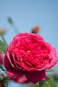 Laguna rose (Rosa sp.) flower