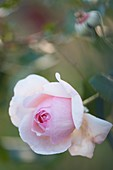 Rose (Rosa 'Heritage') flower