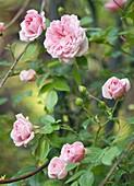 Rambling rose (Rosa 'Francois Juranville')