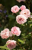 Polyantha rose (Rosa Mrs. R.M. Finch)