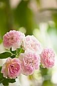 Damask rose hybrid (Rosa 'Jacques Cartier')