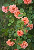 Hybrid rose (Rosa 'Easy Does It')