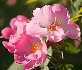 Hybrid rose (Rosa 'Complicata')