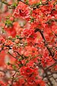 Flowering quince (Chaenomeles x superba Mandarin')