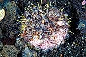 Amphipod crustaceans feeding on a sea urchin