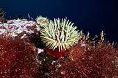 Sea anemone and marine life