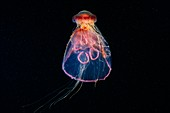 Lion's mane jellyfish feeding on a moon jellyfish