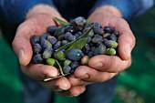 Hände halten frische Oliven