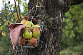 Fresh apples in a wire basket on an apple tree
