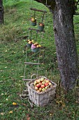Picking apples in garden