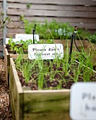 Urban gardening: green vegetable seedlings in wooden crates