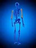Humerus bones, illustration
