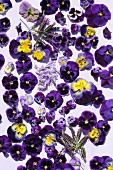Violas, lilac flowers and lavender
