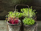 Cress, Beet, Raddish and Rocket Microgreens