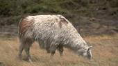Cotopaxi llama grazing