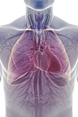 The Cardiovascular and Respiratory System