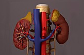 The Renal System, artwork