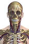 The Cardiovascular System, artwork