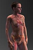 Cardiovascular System, artwork