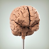 Clay Model of Brain, artwork