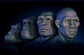 Human Evolution, illustration