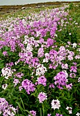 Dame's violet (Hesperis matronalis)
