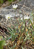Longstalk starwort (Stellaria longipes ssp longipes)