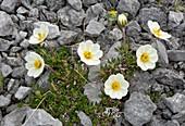 Mountain avens (Dryas integrifolia ssp. integrifolia)