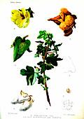Cotton (Gossypium neglectis), 20th Century illustration