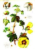 Cotton (Gossypium herbaceum), 20th Century illustration