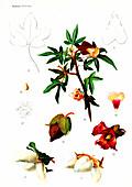 Cotton (Gossypium sanguineum), 20th Century illustration