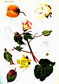 Cotton (Gossypium hirsutum), 20th Century illustration