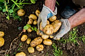 A gardener's hands holding freshly harvested potatoes from the soil