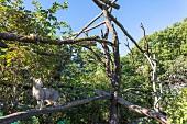 Wildkatze im Gehege des Wildkatzendorfes im Nationalpark Hainich, Thüringer Wald, Thüringen, Deutschland