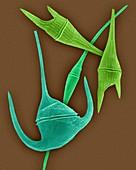 Marine dinoflagellates (Ceratium spp.), SEM