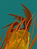 False black widow spider claw (Steatoda sp.), SEM