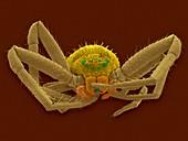 Crab spider (Misumena vatia), SEM