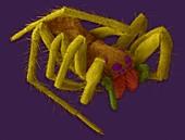 Wolf spider (Hogna carolinensis), SEM