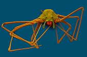 Spitting spider (Scytodes thoracica), SEM