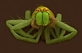 Riparin sac spider (Clubiona riparia), SEM