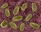 Dust mites on cotton fabric, SEM