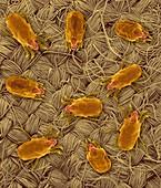 Dust Mites on Fabric, SEM