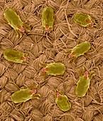 Dust mites on wool fabric, SEM