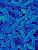 Janibacter hoylei, prokaryote, SEM