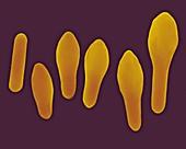 Clostridium spore development, SEM